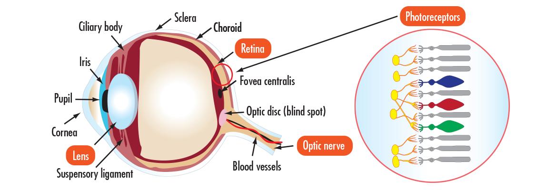 Eye Edmund Optics